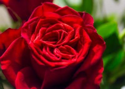 Red Rose markjohnstonephotography